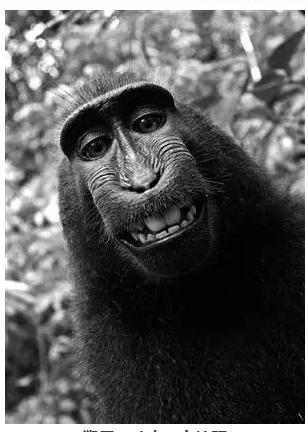 美国动物保护组织状告摄影师侵犯猴子知识产权